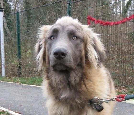 Odin Caa8314 Chiot Leonberg A Adopter Dans La Region Picardie