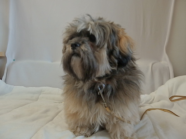 isis chien lhassa apso adopter dans la r gion nord pas de calais. Black Bedroom Furniture Sets. Home Design Ideas