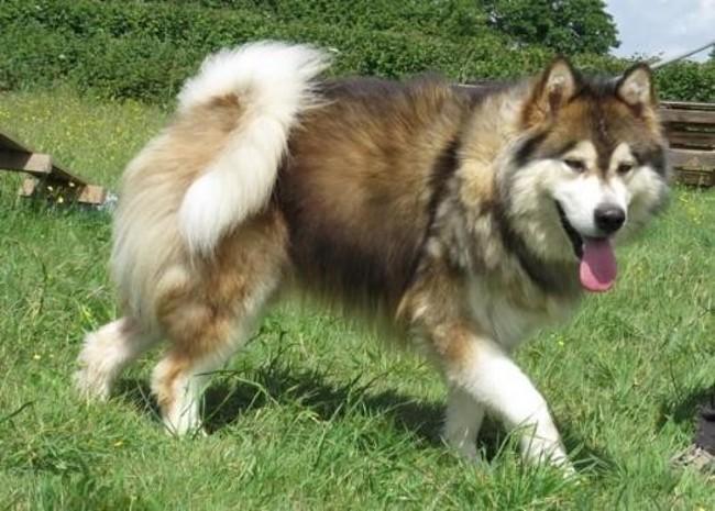 leo chien malamute de l 39 alaska adopter dans la r gion pays de la loire. Black Bedroom Furniture Sets. Home Design Ideas
