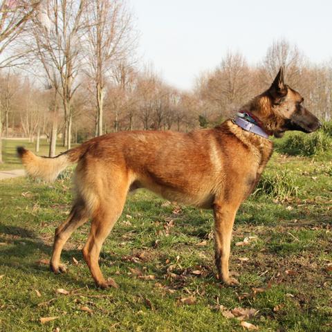 Tommy : chien malinois à adopter dans la région Ile de France