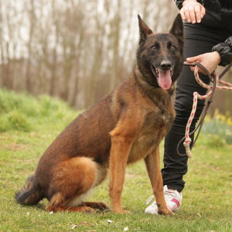Eden : chien malinois à adopter dans la région Ile de France