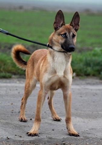 Risland Reservee Chiot Malinois Crois 233 Husky 224 Adopter