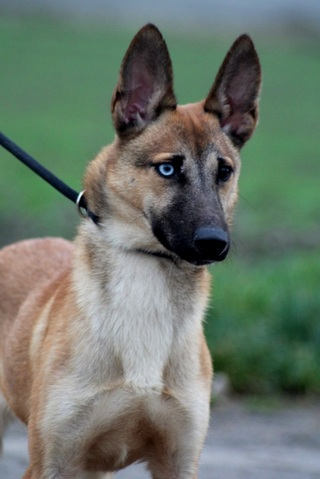 Risland Reservee Chiot Malinois Crois 233 Husky 224 Adopter