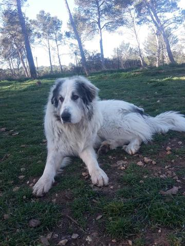Patou : chien montagne des pyrénées à adopter dans la