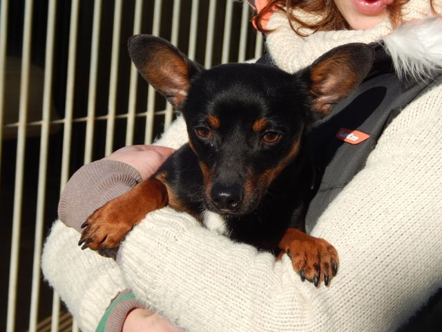 Romeo 1 An Chien Pinscher Crois 233 Chihuahua 224 Adopter