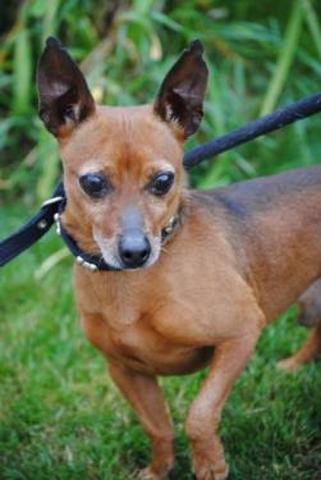 Bubu ( famille d'accueil ) : chien pinscher nain à adopter