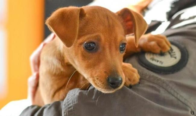 Ouna Chiot Pinscher Nain A Adopter Dans La Region Languedoc Roussillon