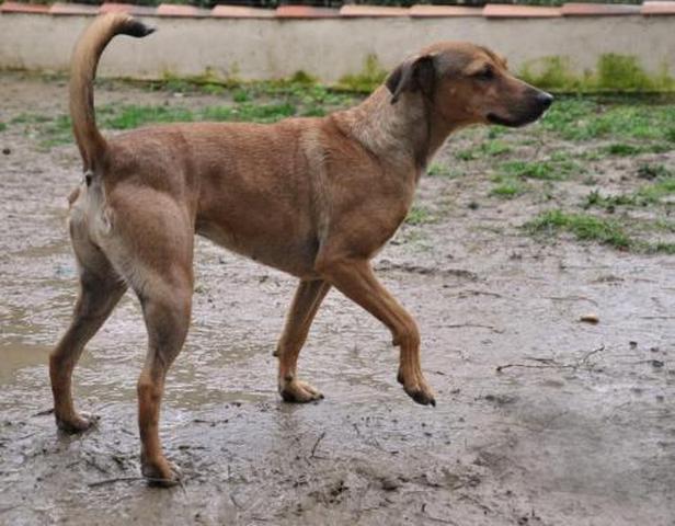 Isou : chien pinsher à adopter dans la région Rhône Alpes