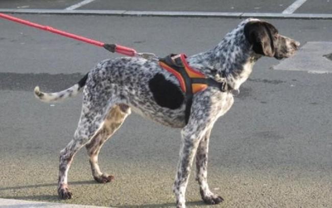 JACKSON - pointer 6 ans - Spa de Quimper (29) Chien-pointer-adopter-301133-2