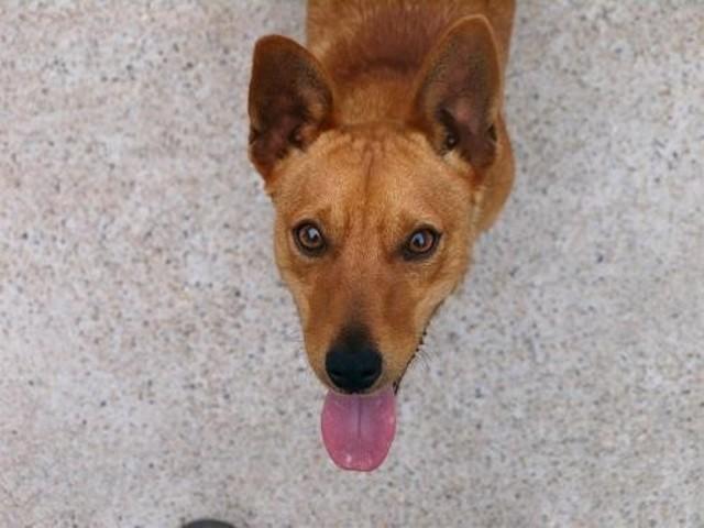 Volt chien ratier adopter dans la r gion bretagne - Race chien volt ...