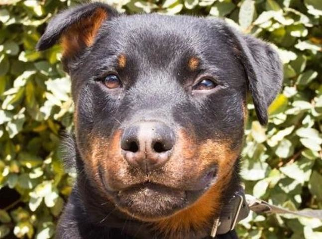 Lasco Chiot Rottweiler A Adopter Dans La Region Bretagne