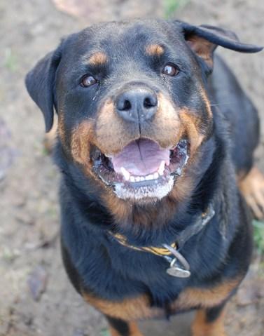 Nikita : chien rottweiler à adopter dans la région Rhône Alpes