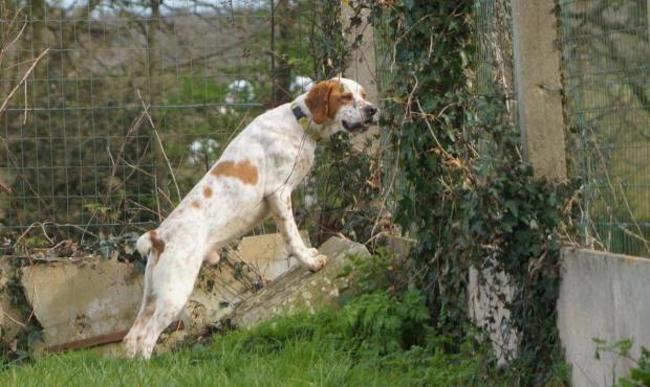 HADES - x braque 6 ans - Spa de La Roche sur Yon (85) Chien-setter-anglais-adopter-289344-3