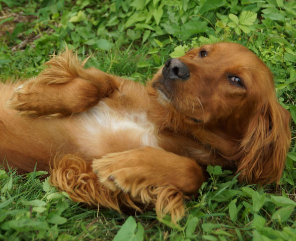 Louloute D 233 J 224 R 233 Serv 233 E Chiot Setter Irlandais 224 Adopter