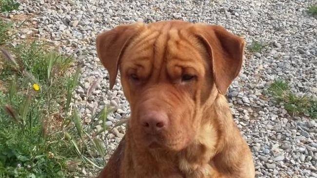 Norky Chien Shar Pei Croise Dogue De Bordeaux A Adopter Dans La Region Languedoc Roussillon