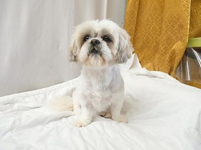 oscar chien shih tzu adopter dans la r gion nord pas de calais. Black Bedroom Furniture Sets. Home Design Ideas