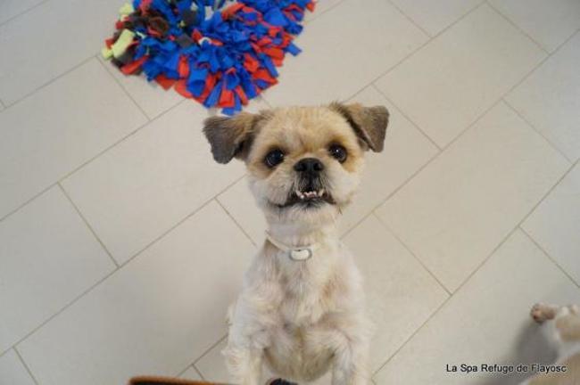 jerico chien shih tzu adopter dans la r gion provence alpes c te d 39 azur. Black Bedroom Furniture Sets. Home Design Ideas