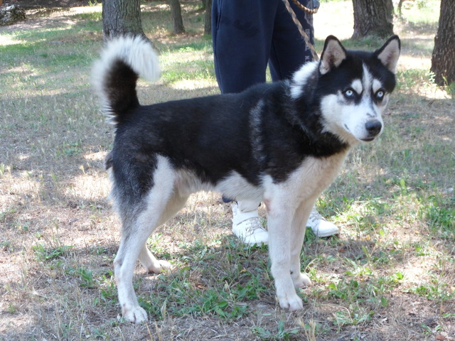 Moujik : chien siberian husky à adopter dans la région