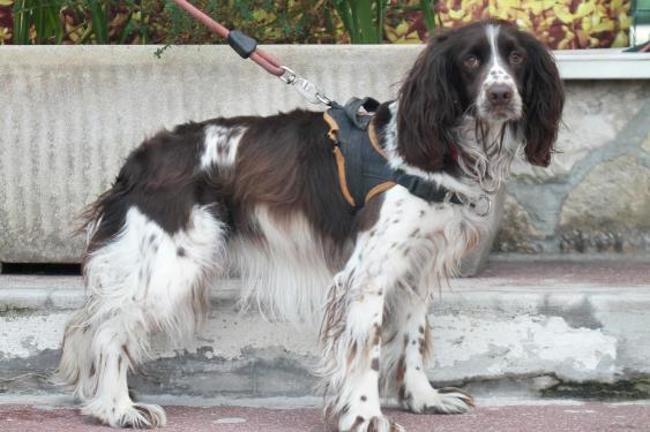 QUENELLE - springer 4 ans - Spa de Gennevilliers (92) Chien-springer-adopter-440655-2
