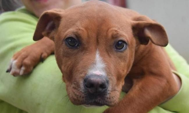 Wales Chiot Staffordshire Bull Terrier A Adopter Dans La Region Languedoc Roussillon