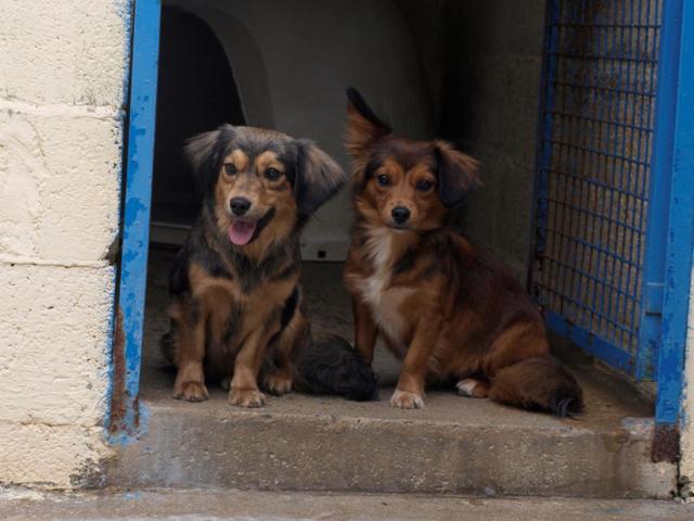 Kella 10 mois : chiot teckel à adopter dans la région Bretagne