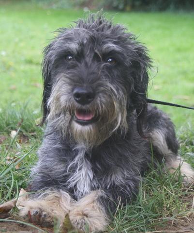 Geko chien teckel poil dur adopter dans la r gion ile - Enlever poil de chien voiture ...