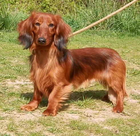 Etrille chien poil long