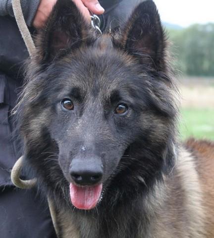 Elvis reserve chien tervueren adopter dans la r gion - Race chien volt ...