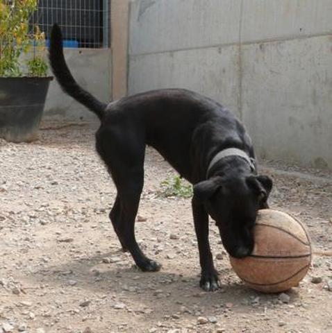 PRINCESSE - labrador noire, tache blanche 6 ans -  (eligible FALD)  Spa de Port la Nouvelle (11) Chien-type-labrador-adopter-226884-2