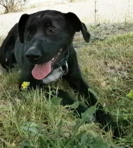 PRINCESSE - labrador noire, tache blanche 6 ans -  (eligible FALD)  Spa de Port la Nouvelle (11) Chien-type-labrador-adopter-226884-5