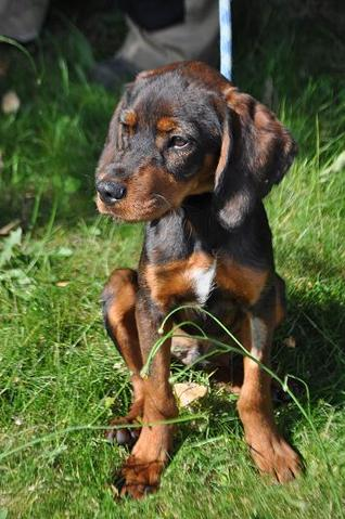 Jasinis 3 mois chiot type setter anglais adopter for Dans 3 mois en anglais
