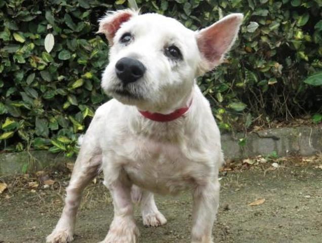 DOUDOU - west highland white terrier 10 ans - Spa de Rennes (35) Chien-west-highland-white-terrier-adopter-377271-2