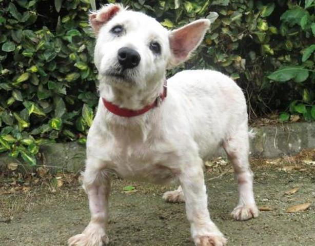 DOUDOU - west highland white terrier 10 ans - Spa de Rennes (35) Chien-west-highland-white-terrier-adopter-377271-3