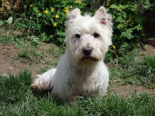 spoutnik westie 13 ans chien westie adopter dans la r gion rh ne alpes. Black Bedroom Furniture Sets. Home Design Ideas