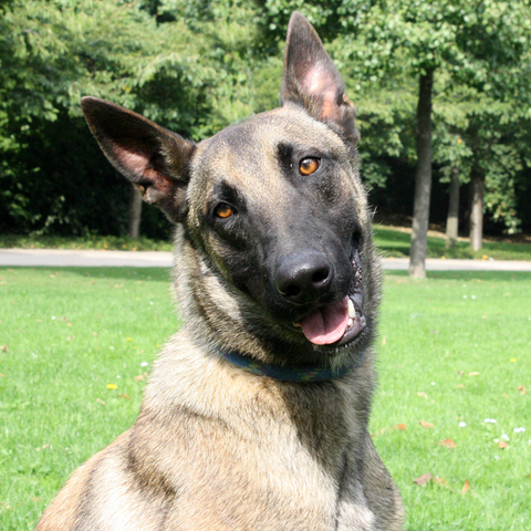 Dallas : chien xé malinois à adopter dans la région Ile de