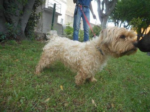 Nouf Chien York Croise Terrier A Adopter Dans La Region Languedoc Roussillon