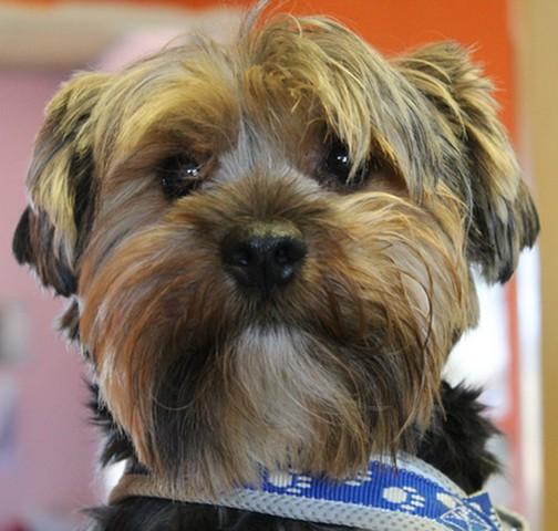 Biscuit reserve chien yorkshire adopter dans la - Race chien volt ...