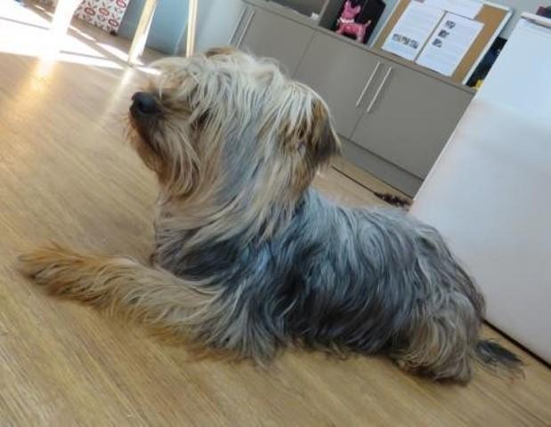 polo chien yorkshire adopter dans la r gion provence alpes c te d 39 azur. Black Bedroom Furniture Sets. Home Design Ideas