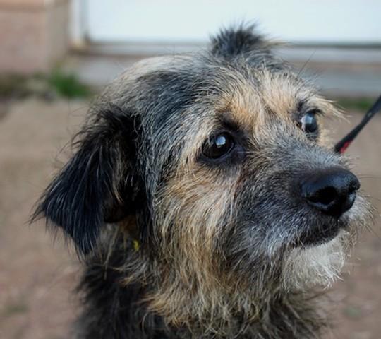 Rex en famille d 39 accueil en vue d 39 une adoption chien - Race chien volt ...
