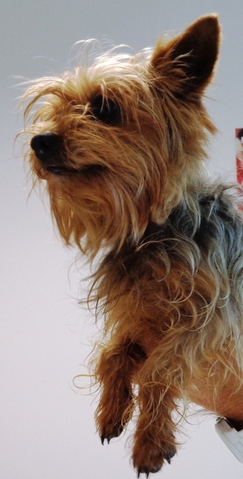 crumble chien yorkshire terrier adopter dans la r gion bretagne. Black Bedroom Furniture Sets. Home Design Ideas