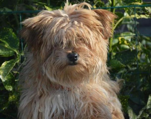 nice chao8435 chiot yorkshire terrier adopter dans la r gion ile de france. Black Bedroom Furniture Sets. Home Design Ideas