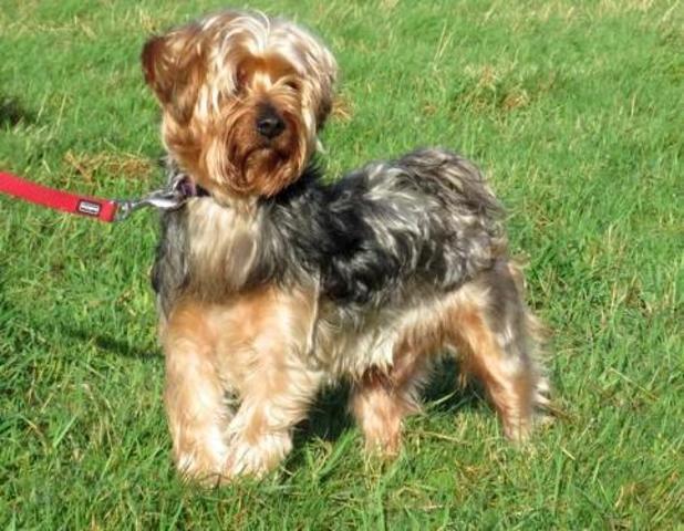 diesel chien yorkshire terrier adopter dans la r gion pays de la loire. Black Bedroom Furniture Sets. Home Design Ideas
