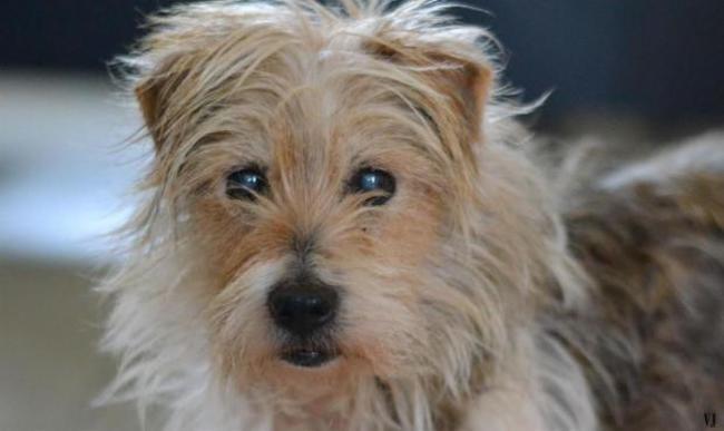 owen chien yorkshire terrier adopter dans la r gion languedoc roussillon. Black Bedroom Furniture Sets. Home Design Ideas