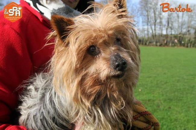 Bartok : chien yorkshire terrier à adopter dans la région