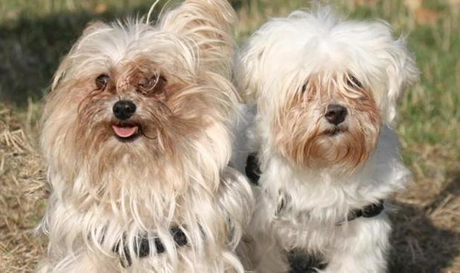 Biggie Chien Yorkshire Terrier A Adopter Dans La Region Ile De France