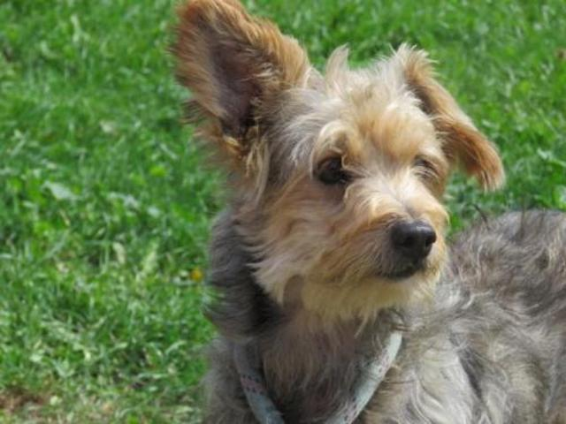 Patrick Chien Yorkshire Terrier A Adopter Dans La Region Nord