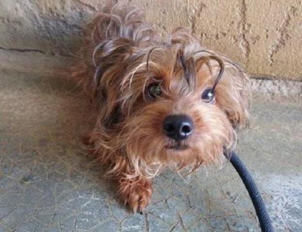 Youri Chiot Yorkshire Terrier A Adopter Dans La Region Lorraine