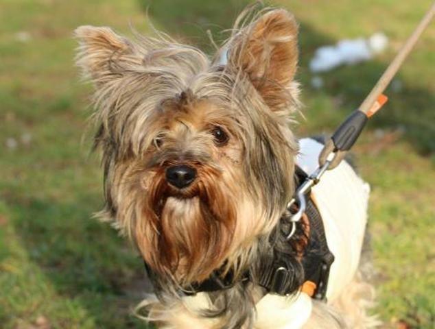 Ninja Oaa18140 Chien Yorkshire Terrier A Adopter Dans La Region Ile De France