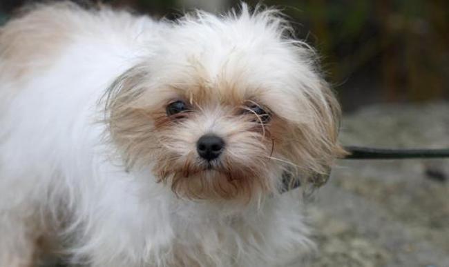 Miette Chiot Yorkshire Terrier A Adopter Dans La Region Ile De France