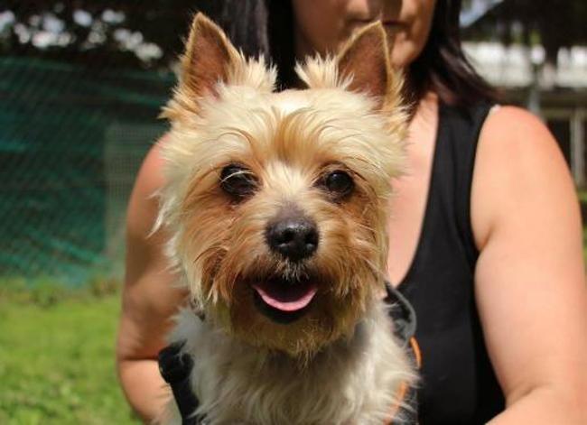 Elliot Oaa18326 Chien Yorkshire Terrier A Adopter Dans La Region Ile De France